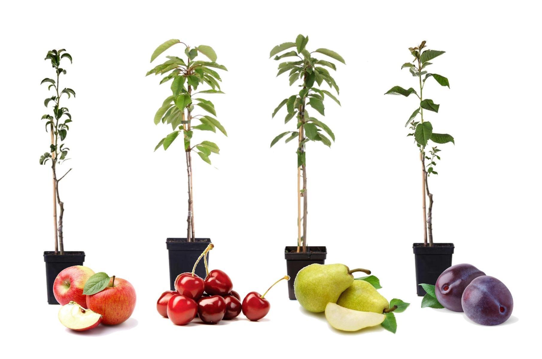 Set van 4 pilaarvormige fruitbomen